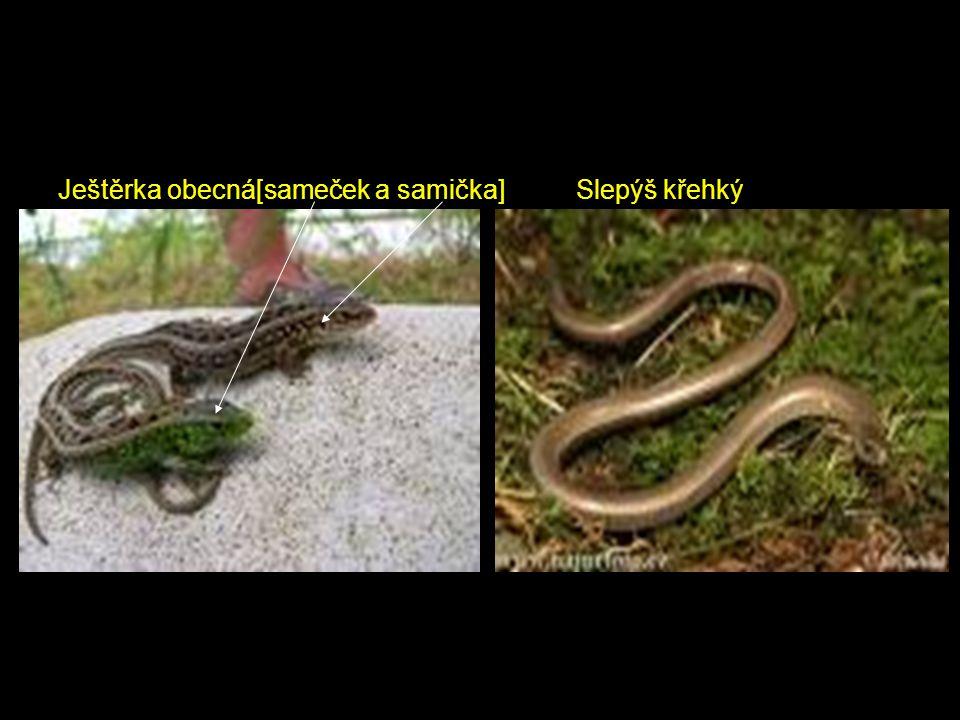 Ještěrka obecná[sameček a samička] Slepýš křehký